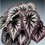 Sil.otl. Begonia REX - List veľký