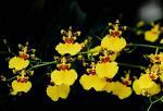 Vykrajovač - (TT) Orchidea Oncidium